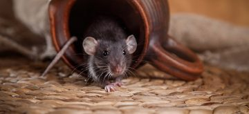 Effective Natural Solutions to Eliminate Rats from Your Home
